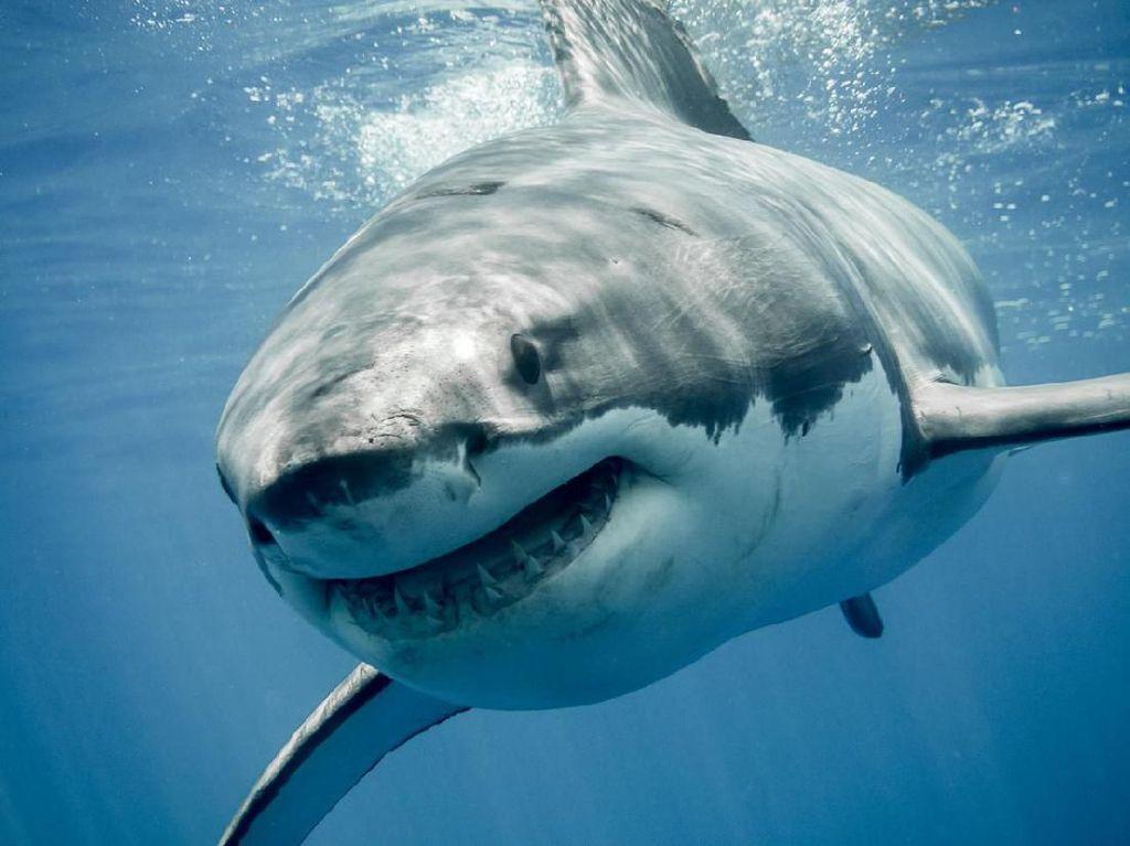 Lonceng Tanda Bahaya! Hiu dan Ikan Pari Mulai Hilang dari Lautan