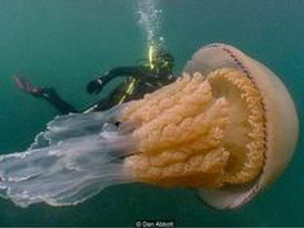 Ketika Penyelam di Inggris Dikejutkan Ubur-ubur Raksasa