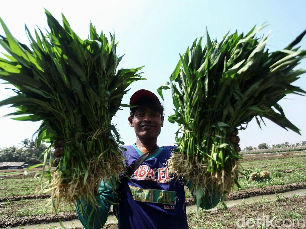 Asyik! Petani di Tangerang Panen Kangkung