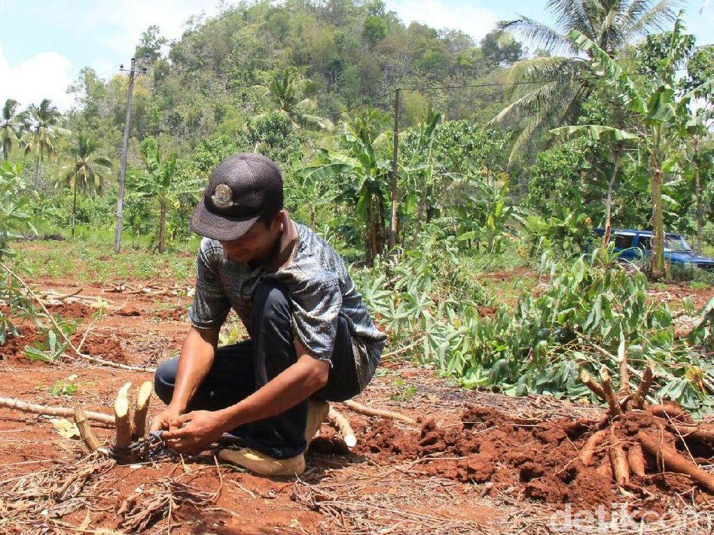 Produksi Singkong di Wonogiri Turun, Petani Pilih untuk Pakan Ternak