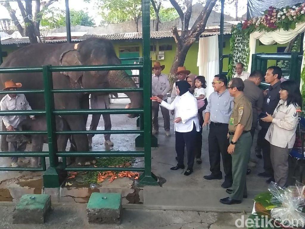 Risma Beri Nama Dumbo untuk Bayi Gajah KBS yang Baru Lahir