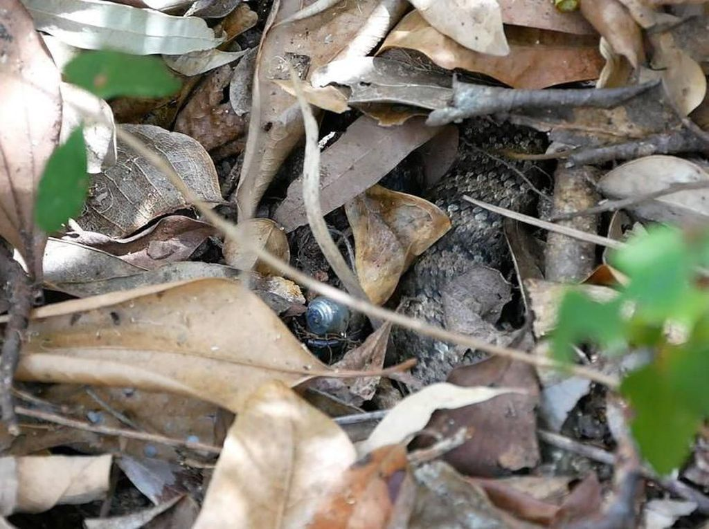 Death Adder, Ular Pendek Mematikan yang Tewaskan Brimob di Mimika