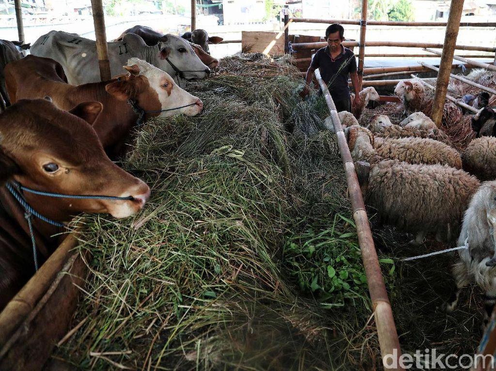 Gigi Tukang Jagal di Cengkareng Copot Lima Tertendang Sapi Kurban