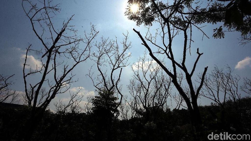 Kemarau, Sejumlah Pohon Mengering dan Mati di Hutan Kota Bekasi