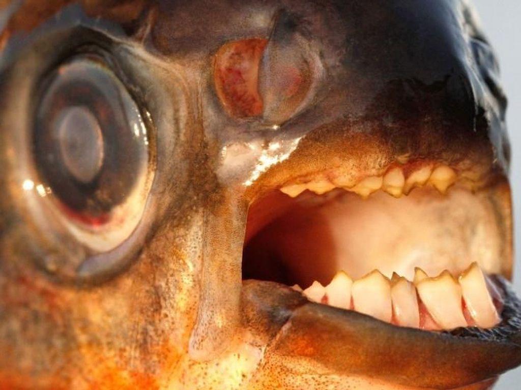 Keluarga Piranha Tapi Giginya Seperti Manusia