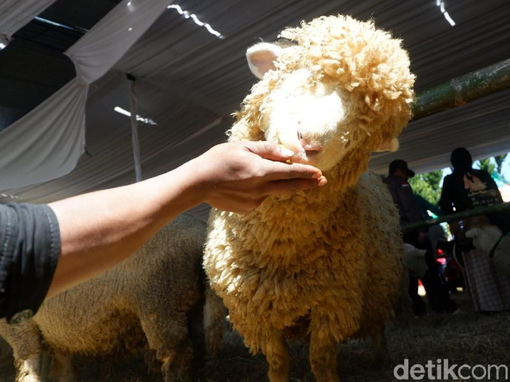 Foto: Domba Langka yang Bikin Penasaran di Dieng