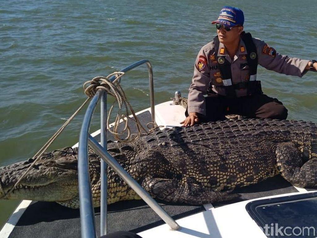 Buaya Muara di Perairan Nusakambangan Mati Tersangkut Jaring Nelayan