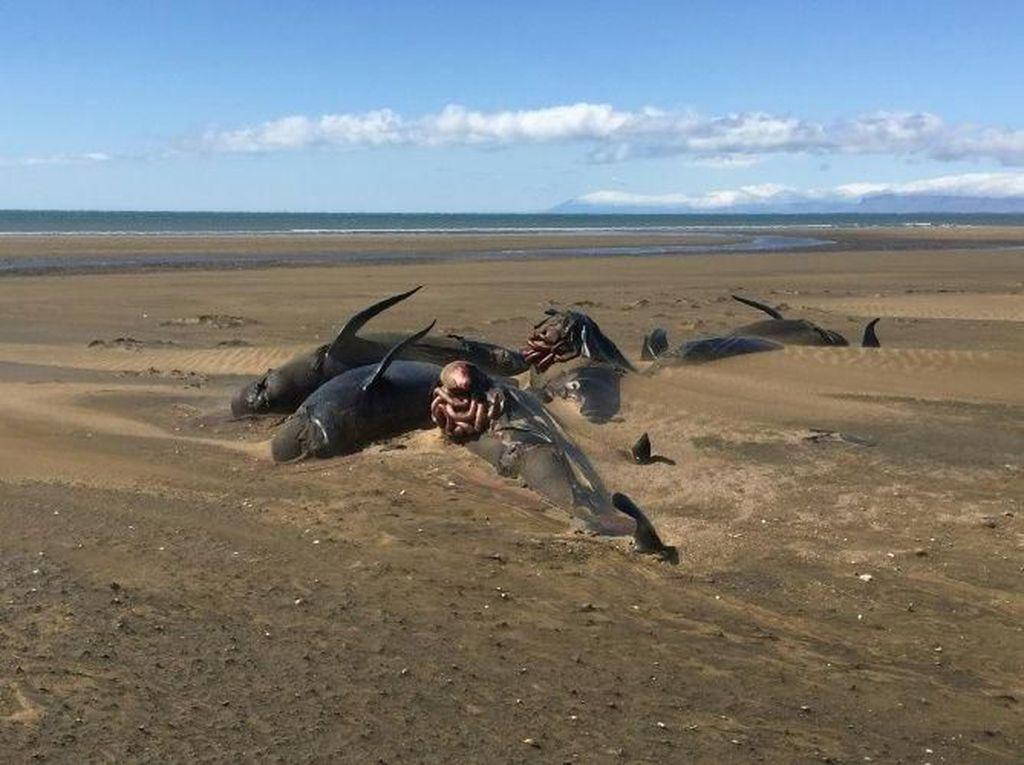 20 Paus Pilot yang Terdampar Misterius di Pantai Islandia Akhirnya Mati