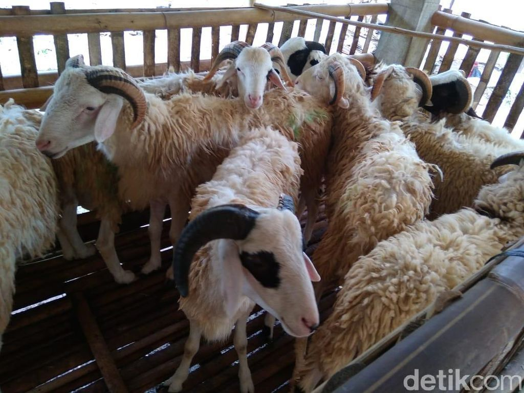 Jelang Idul Adha, Penjualan Kambing di Pasar Hewan Yogya Turun