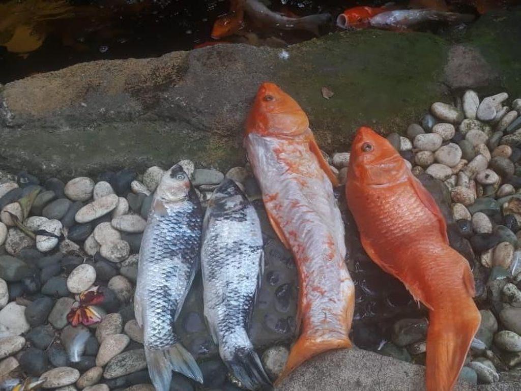 Ikan Koi Mati, Warga Jaksel Gugat PLN Ganti Rugi Rp 11,1 Juta