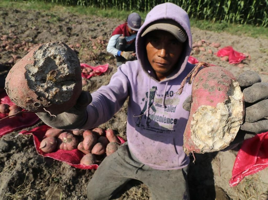 Petani Ubi Jalar di Kediri Keluhkan Serangan Hama Tikus
