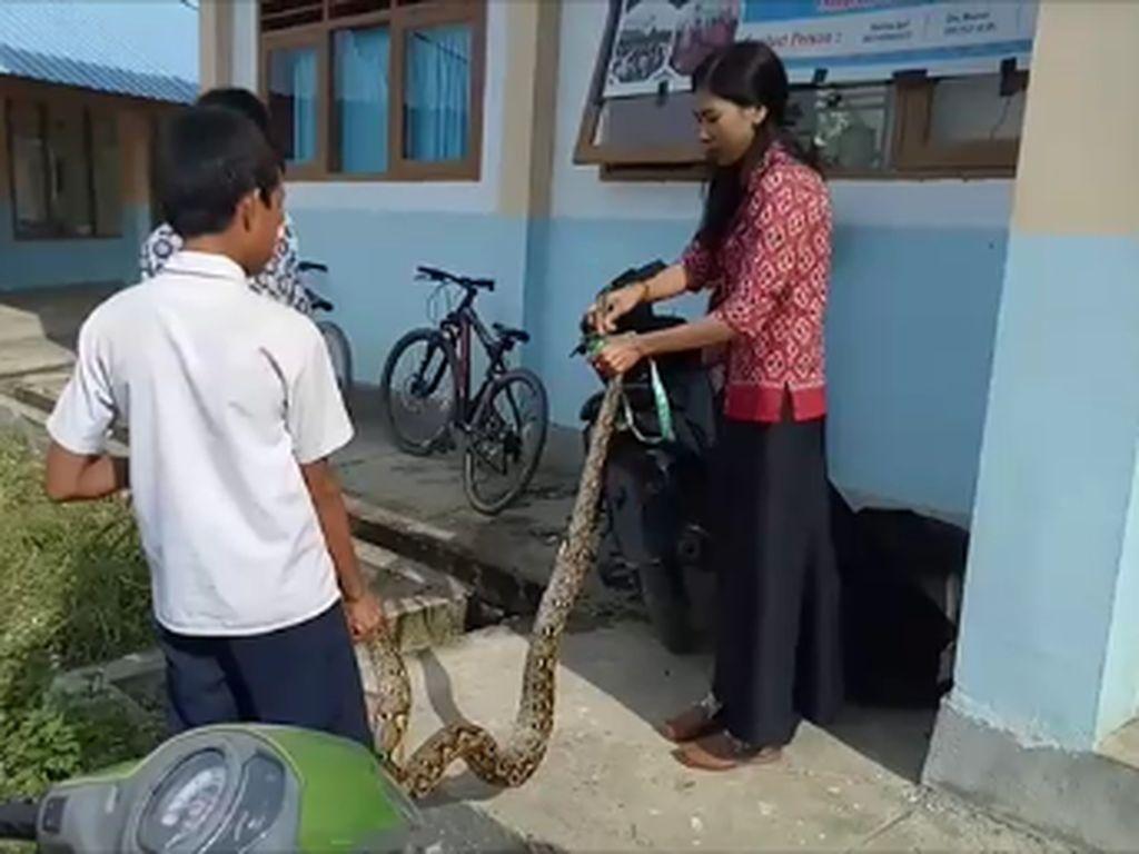 Modal Nekat! Cerita Guru yang Viral Tangkap Ular Piton