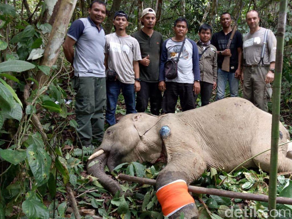 Kena Jerat Nilon, Gajah Jantan Liar di Aceh Tengah Terluka