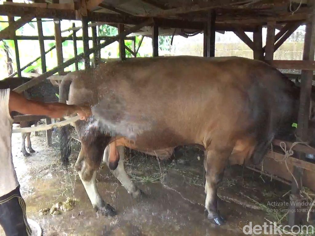 Sapi Kurban Jokowi di Jambi Berbobot 850 Kg, Mandi dan Minum Jamu Tiap Hari
