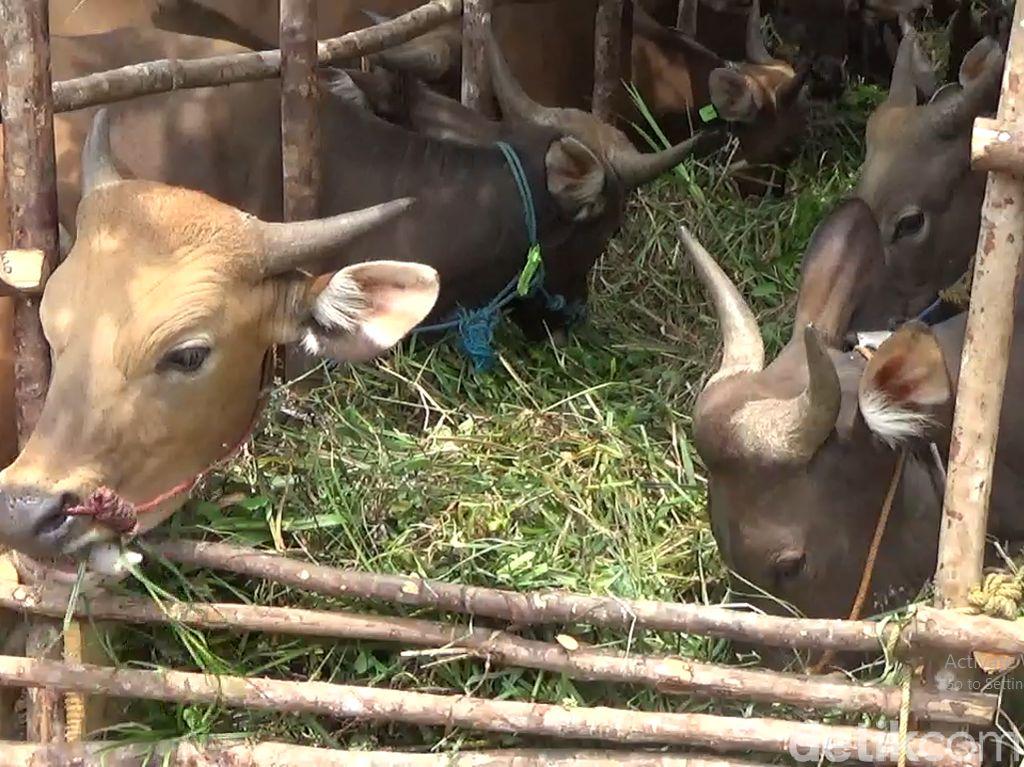 Daging dari Sapi yang Minum Jamu, Aman Nggak Dikonsumsi Manusia?