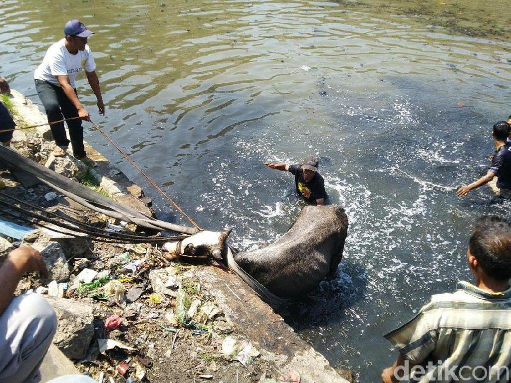 Byur! Diduga Kaget, Sapi Kurban di Semarang Nyemplung ke Kali