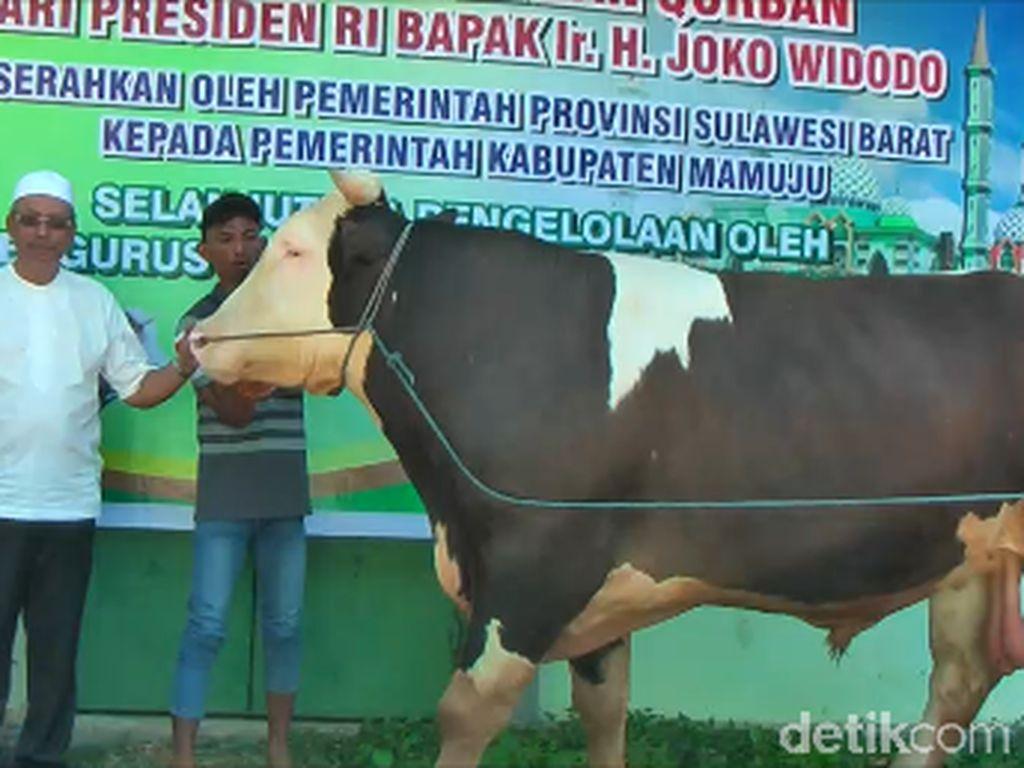 Tiba di Mamuju, Sapi Kurban Jokowi Langsung Diperiksa Intensif