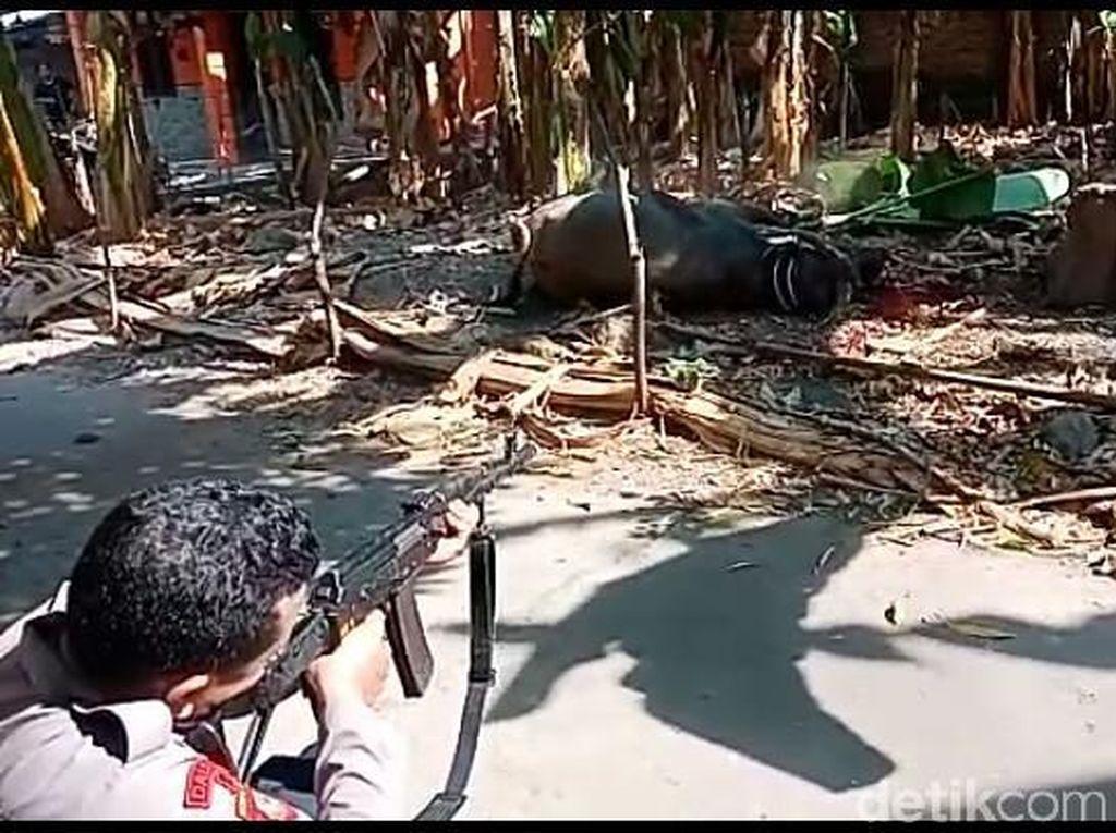 Kerbau Kurban di Kudus Mengamuk Serang Warga, Akhirnya Ditembak