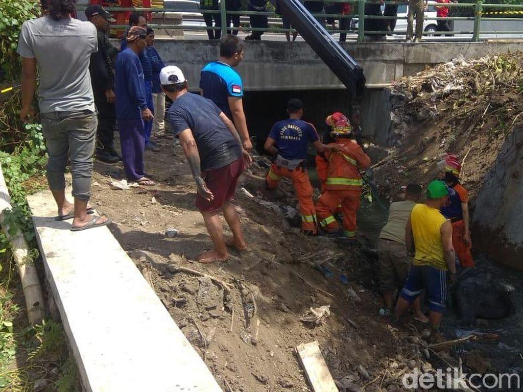 Kaget Dengar Anak Pukul Seng, Sapi Kurban di Surabaya Lompat ke Kali