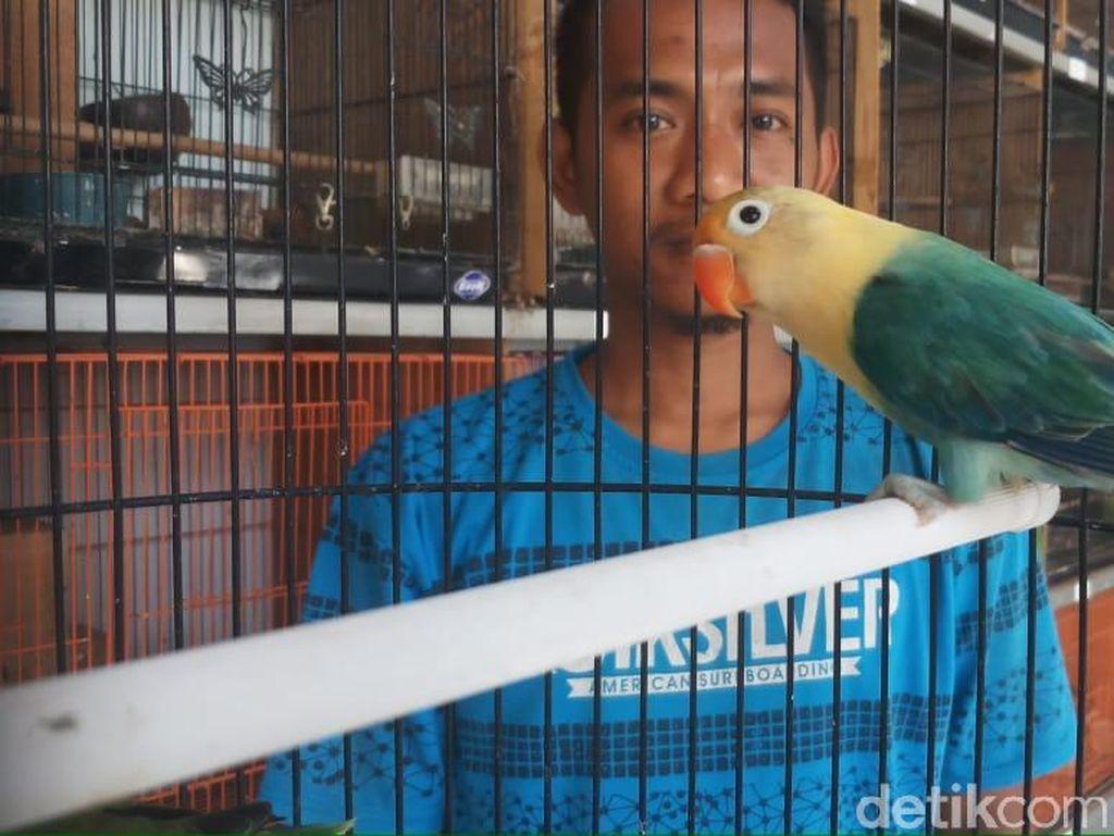 Harga Love Bird Anjlok, Peternak Kecil Terpaksa Gulung Tikar