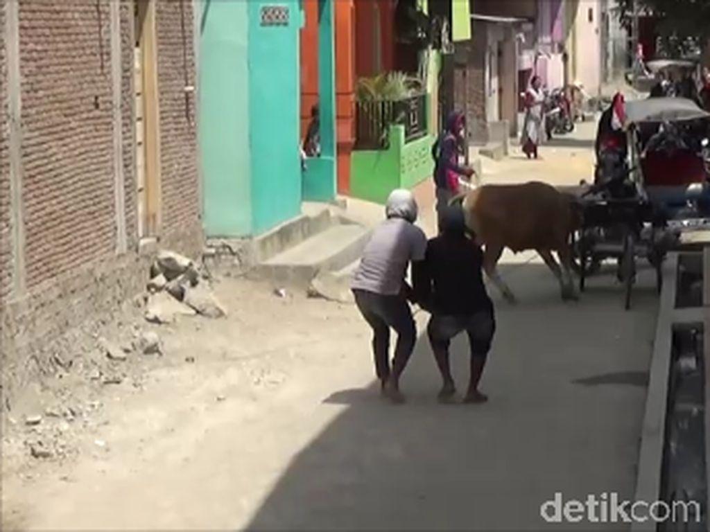Video Sapi Ngamuk di Polman, 2 Motor Rusak