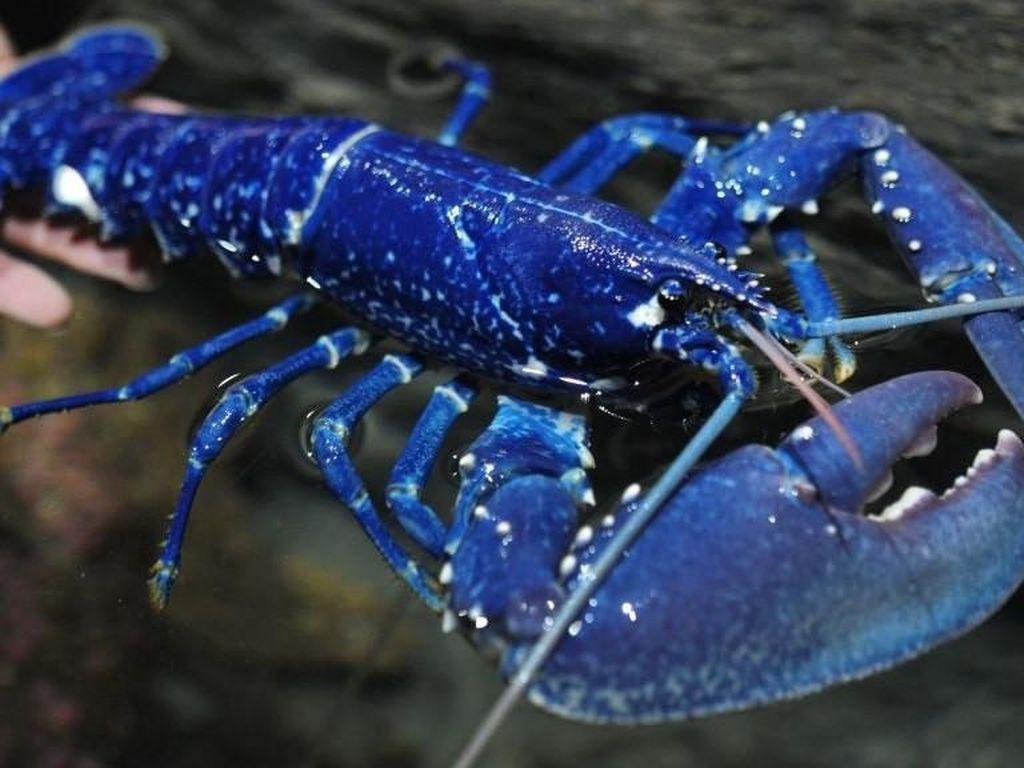 Temukan Lobster Cotton Candy yang Langka, Nelayan Ini Ogah Memasaknya