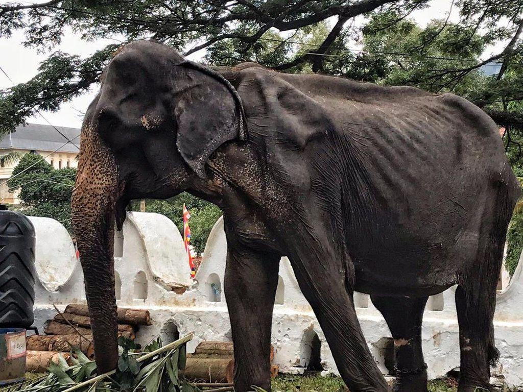 Viral, Potret Miris Gajah Kelaparan Bertubuh Sangat Kurus Ditutupi Kostum