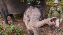 Bayi Gajah Sumatera Lahir di PLG Riau