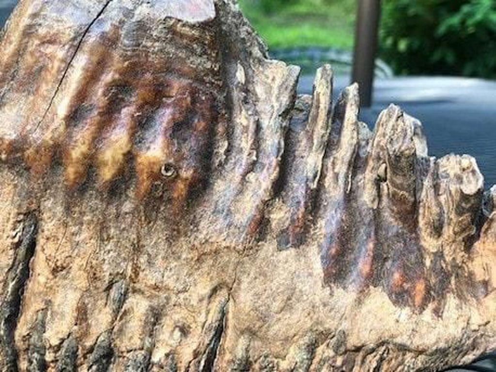 Lagi Main di Sungai, Bocah 12 Tahun Temukan Gigi Mammoth