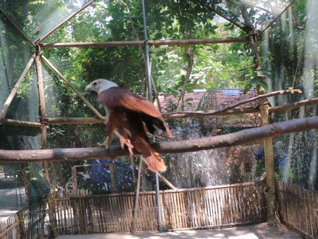 Dukungan Pertamina untuk Konservasi Elang Bondol