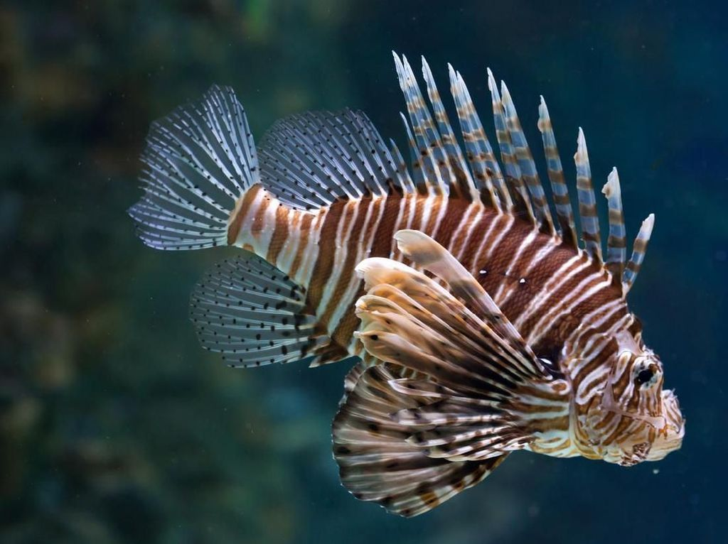 Si Cantik Lionfish Lebih Bikin Penasaran Dibanding Riset Obat Kanker