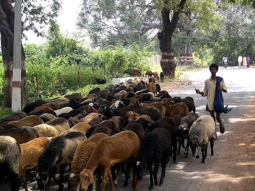 Miris! Pria Ini Izinkan Istrinya Menikah Lagi Asal Diberi 71 Ekor Domba