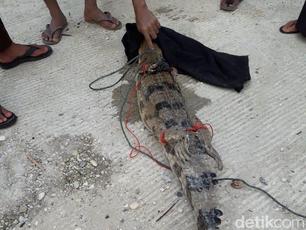 Ngeri! Ada Buaya Masuk Kolam Ikan di Kampar