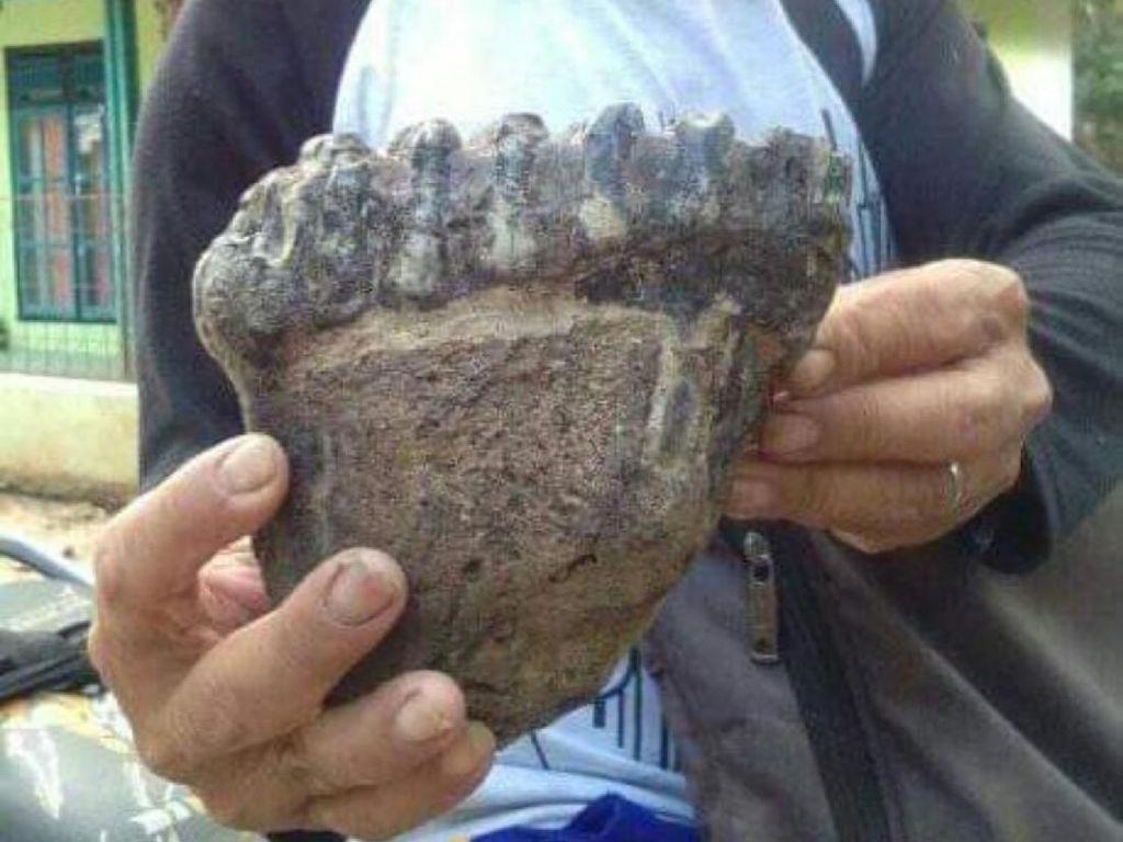 Warga Temukan Fosil Rahang Gajah Purba di Cisaga Ciamis
