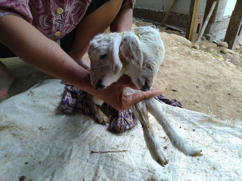 Bikin Kaget Pemilik! Ada Anak Kambing Lahir Berkepala Dua di Bogor