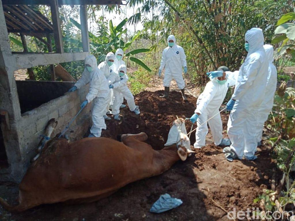 Seekor Sapi Mati Mendadak di Daerah Endemik Antraks Gunungkidul