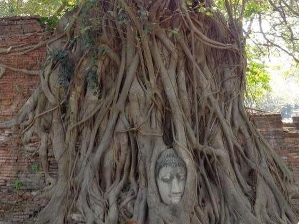Aneh Tapi Nyata, Ada Kepala Buddha di Dalam Pohon