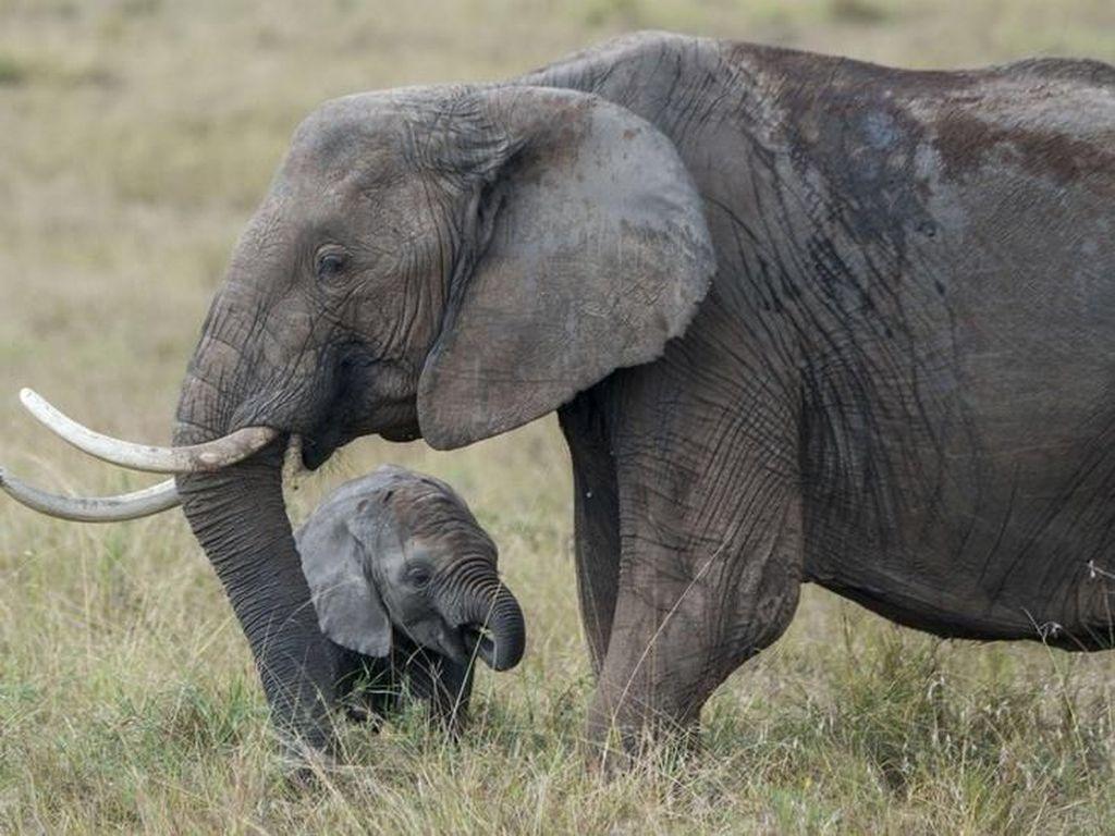 Gajah Liar Afrika Kini Dilarang Dikirim ke Kebun Binatang Seluruh Dunia