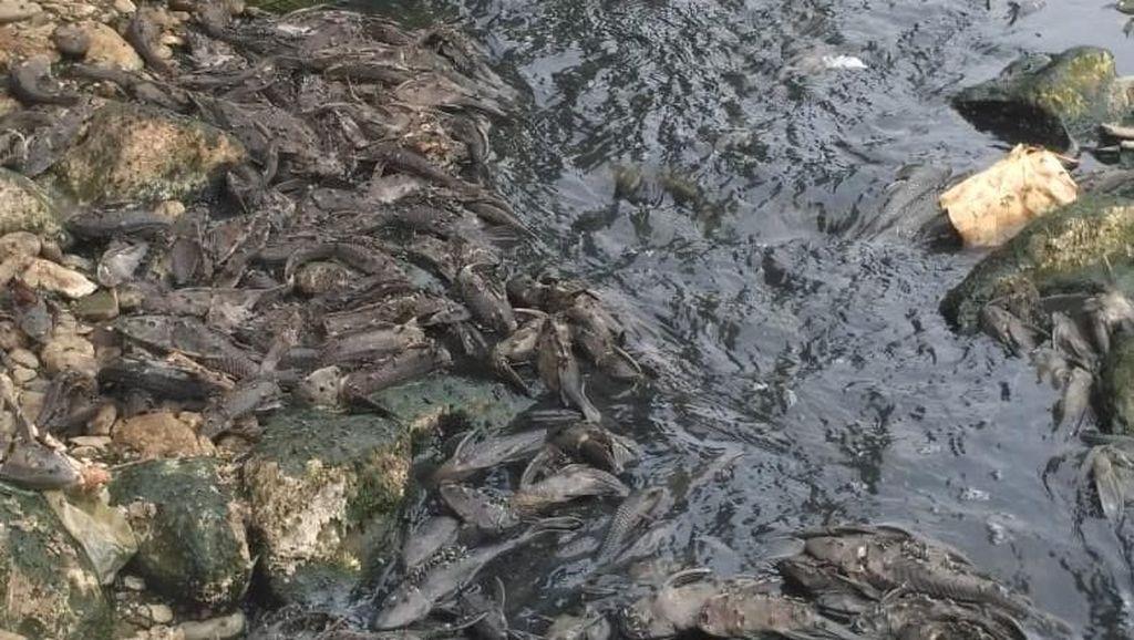 Sungai Cileungsi Tercemar: Air Hitam Berbusa-Ikan Mati Bergelimpangan
