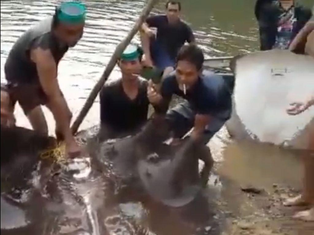 Geger Ikan Pari Raksasa di Sungai Ogan Komering Ilir Sumsel