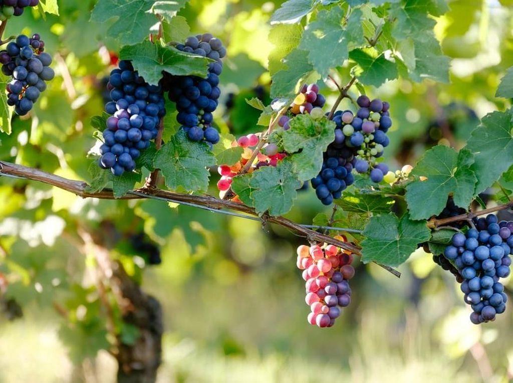 Tanaman Cabe hingga Anggur Punya Mitos Bisa Membawa Sial
