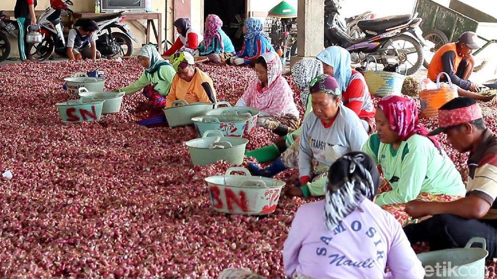 Panen Bawang Merah, Petani Curhat Harga Anjlok