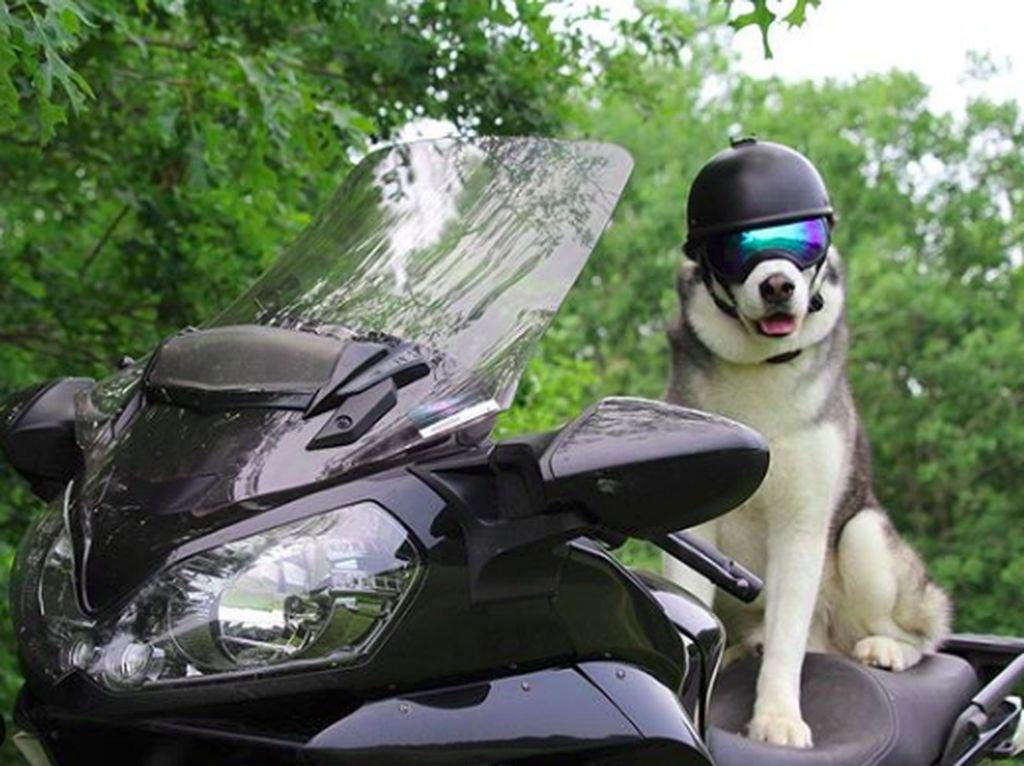Sox, Si Anjing Husky yang Suka Touring