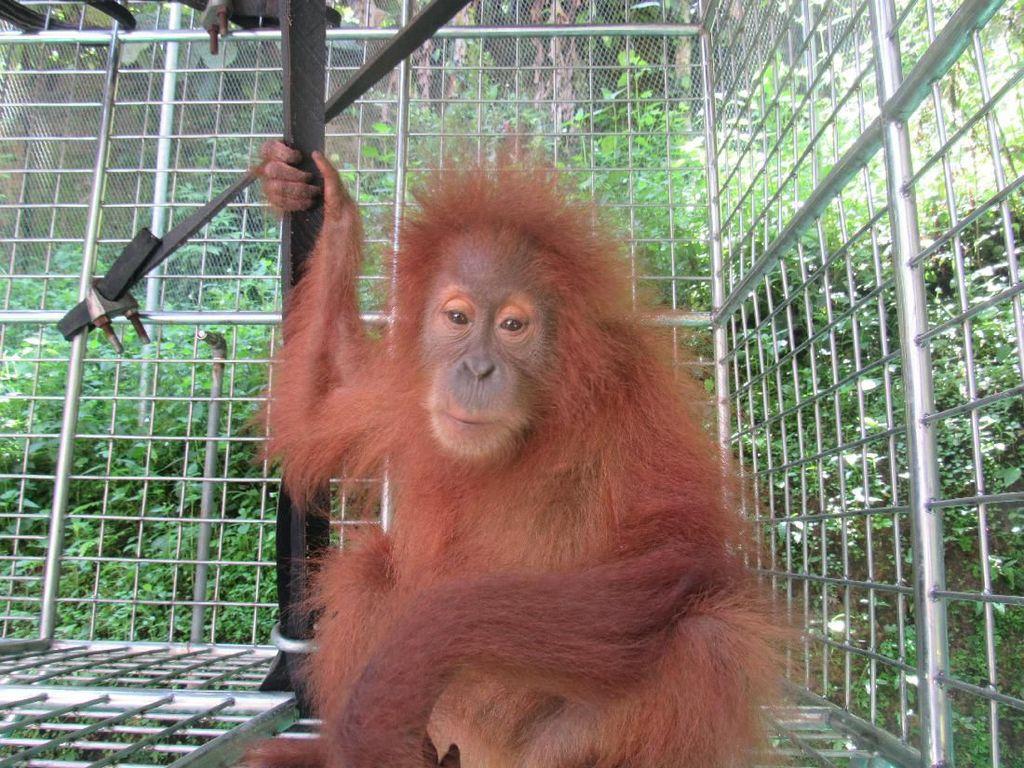 Diselamatkan di Aceh, 2 Orang Utan Sumatera Direhabilitasi di Sumut