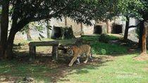 Heboh Harimau Masuk Kampus Unsri, Gubernur Sumsel: Itu Kucing Mungkin