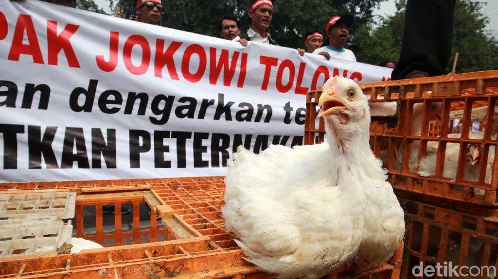 Harga Jual Anjlok, Peternak Ayam Demo Pemerintah