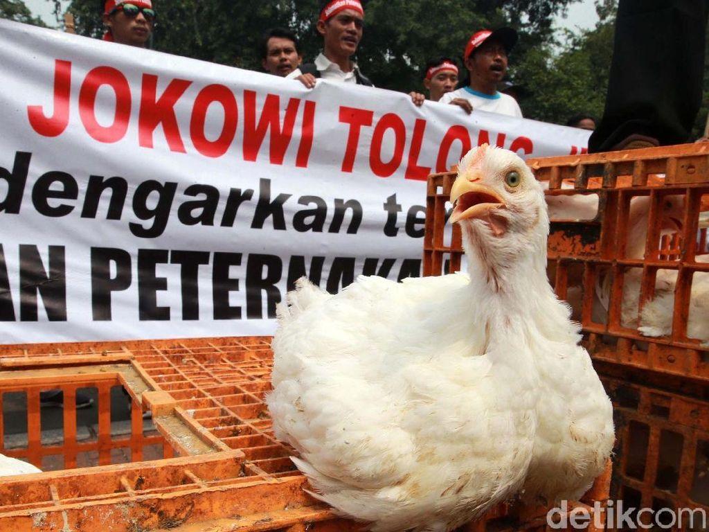 Harga Ayam Anjlok, Kementan Musnahkan 7 Juta Bibit Bulan Depan