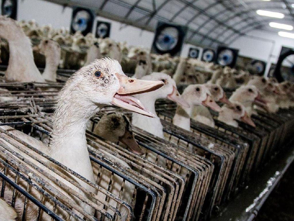 Ini Proses Pembuatan Foie Gras, Makanan Khas Prancis yang Kontroversial