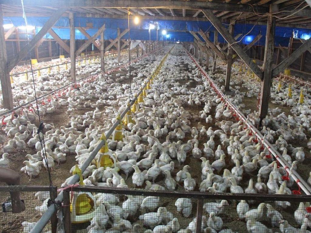 Suplai Ayam Melimpah, Ini Langkah Kementan Atasi Disparitas Harga
