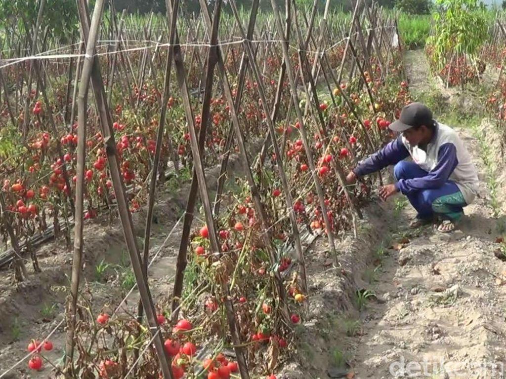 Petani Blitar Biarkan Tomat Membusuk karena Harga Anjlok